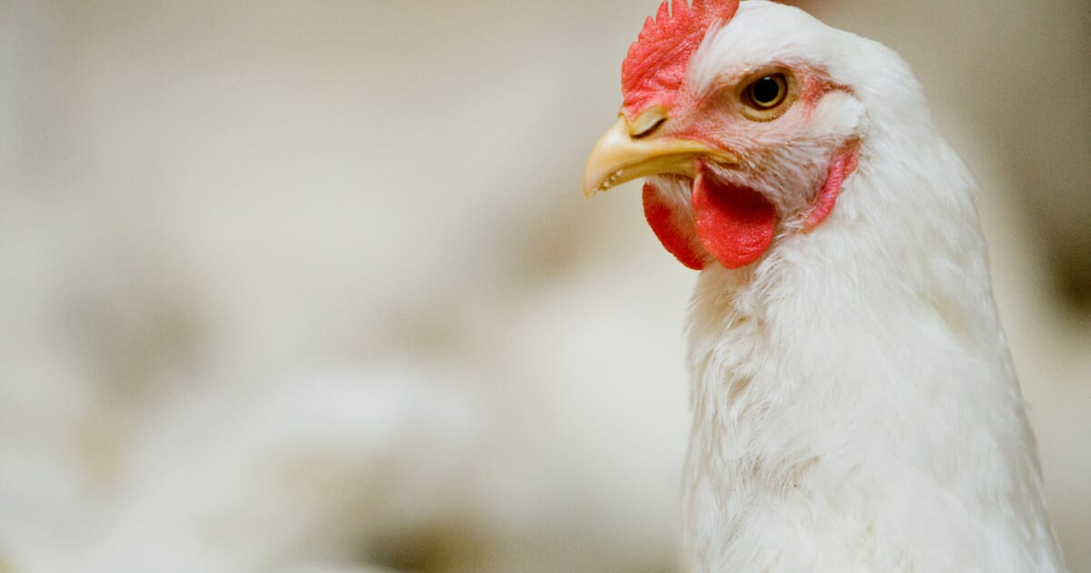 Salmonella, mycoplasma and avian influenza monitoring in parent