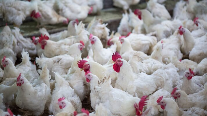 Cambodia reports an outbreak of H5N6 bird flu: OIE thumbnail image
