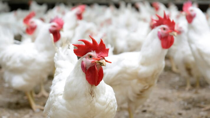 Russia could reduce poultry import tax for Brazil to stabilise domestic prices thumbnail image
