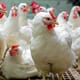 Sanderson Farms reports a drop in Chinese poultry purchases thumbnail image