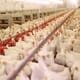 UK meal kit companies take steps to ensure chicken welfare thumbnail image