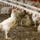 Does poultry growing pose a real threat to the world? thumbnail image