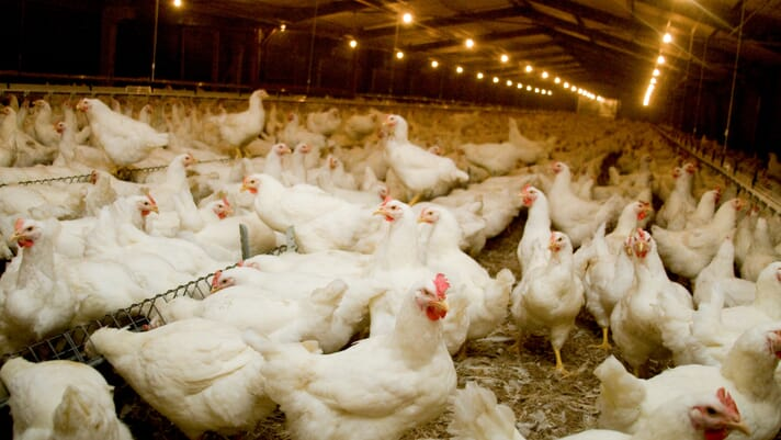Tips to keep your poultry operation running smoothly during a global crisis thumbnail image