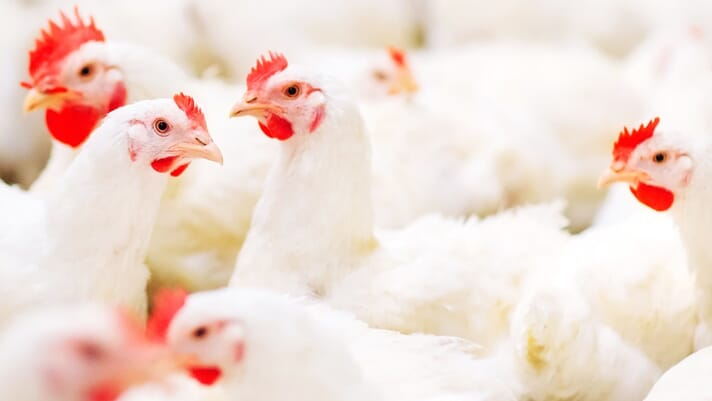 New research from Trouw shows why timing matters for broiler nutrition thumbnail image
