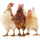 Cooks Venture wants to regenerate the environment with chicken thumbnail image