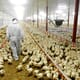 Netherlands to cull over 35,000 broilers after bird flu detected thumbnail image