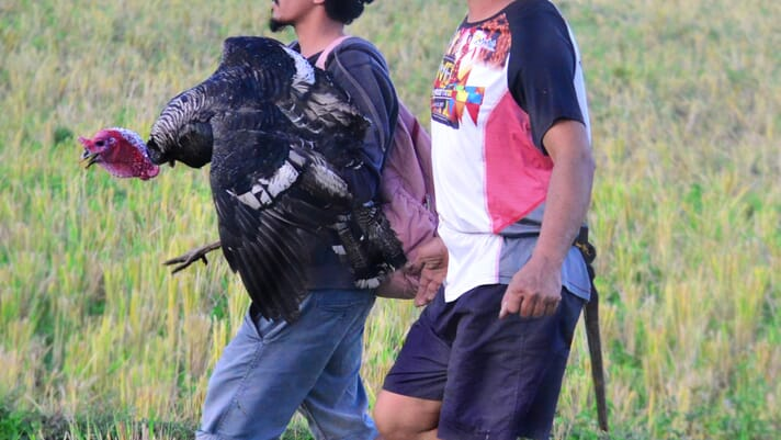 Why turkeys are so important to the Philippines' poultry industry thumbnail image