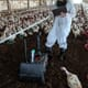 Autonomous robotics for the poultry shed thumbnail image