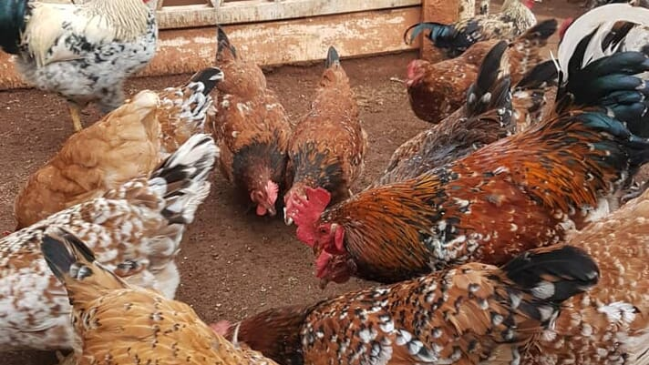 Homegrown heroes: How indigenous poultry is driving growth among Zimbabwe's producers thumbnail image