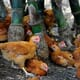 Philippines declared free of H5N6 bird flu, but is monitoring another strain thumbnail image