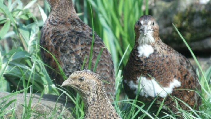 Raising quail with welfare in mind – an evidence-based approach thumbnail image