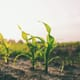 Looming corn shortages in China put agriculture sector on edge thumbnail image