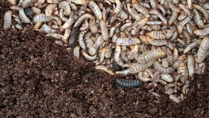 IPIFF welcomes new European opinion on edible insects thumbnail image