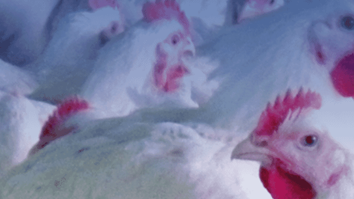 Newcastle disease control: The importance of titres in the live vaccine thumbnail image