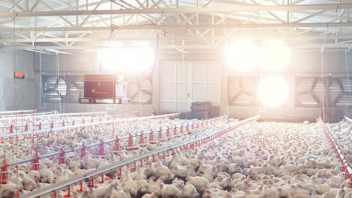 Lighten up! Poultry welfare is easy with this new innovation thumbnail image