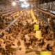 Vietnam's Nam Huong unveils first commercial cage-free egg barn thumbnail image