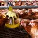 Study identifies new tool to manage poultry production costs thumbnail image
