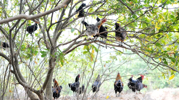 """First Nations group in British Columbia raises """"tree range"""" chickens thumbnail image"""