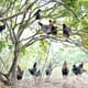 "First Nations group in British Columbia raises ""tree range"" chickens thumbnail image"