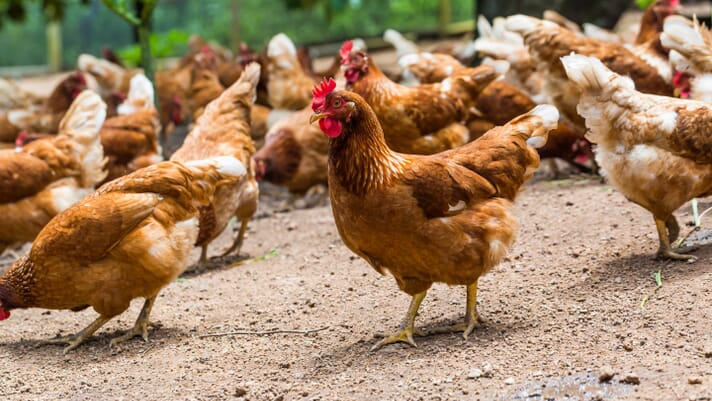 Poultry Heroes: John Brunnquell tells all about setting hens free thumbnail image