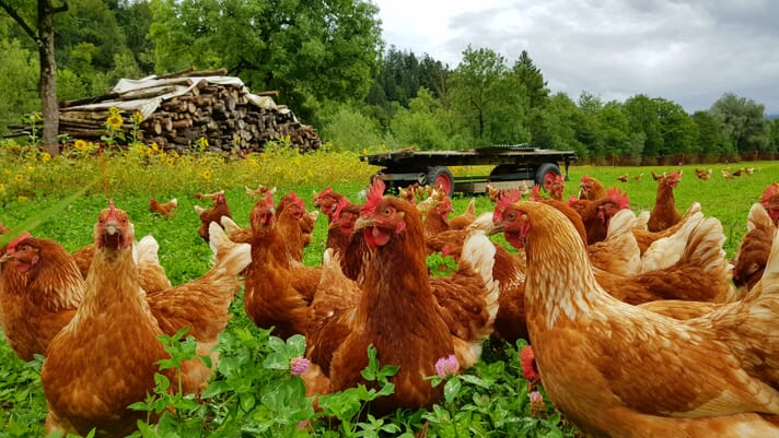 Knock-on effects from COVID-19 erode US organic poultry slaughter by 24 percent thumbnail image