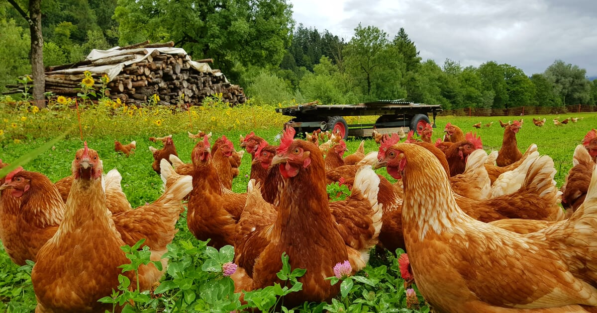 Knock-on effects from COVID-19 erode US organic poultry slaughter by 24  percent   The Poultry Site