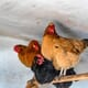 Dutch order poultry to be kept indoors after German bird flu outbreak thumbnail image