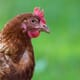 BASF commits to poultry sustainability and welfare thumbnail image