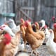 Five steps to going cage-free in China thumbnail image