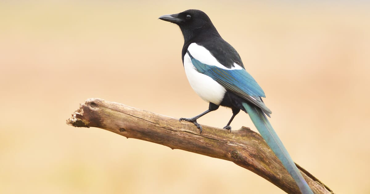 General licences for bird control: major changes to