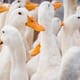 "France moves to cull more ducks in ""race against time"" to stop bird flu thumbnail image"