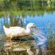 Why water access is the secret to duck health thumbnail image