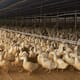 South Korea confirms H5N8 bird flu on duck farm thumbnail image