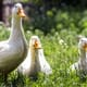 """The ducks have won"": French court says they may keep on quacking thumbnail image"