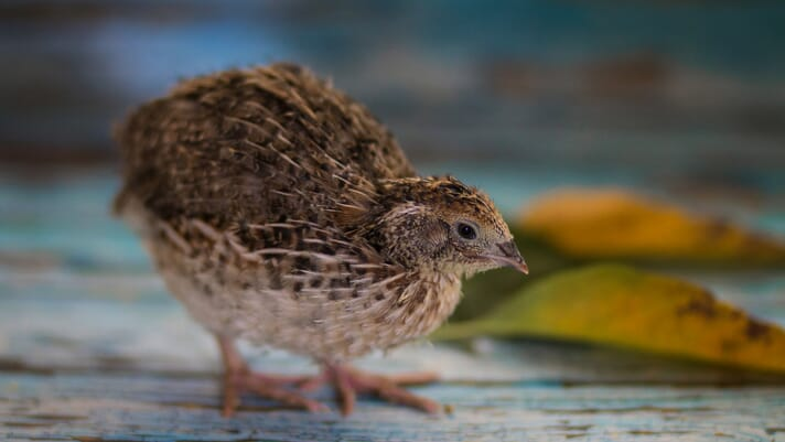Starting out with Japanese quail thumbnail image