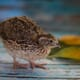 How a healthy gut impacts emotional response in Japanese quails thumbnail image