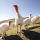 Avian influenza reported on turkey farms in Poland thumbnail image