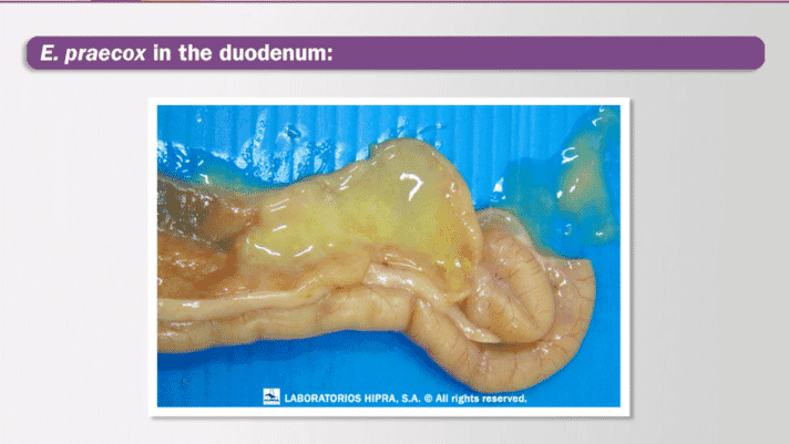 Eimeria praecox: a brief story of the big unknown of coccidiosis in poultry thumbnail image
