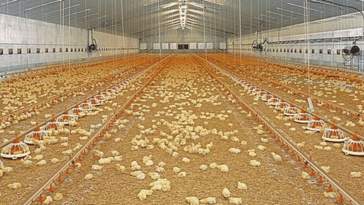 How the climate can negatively affect broiler health thumbnail image