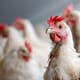 Study Examines Feeding for Better Broiler Breeder Welfare thumbnail image