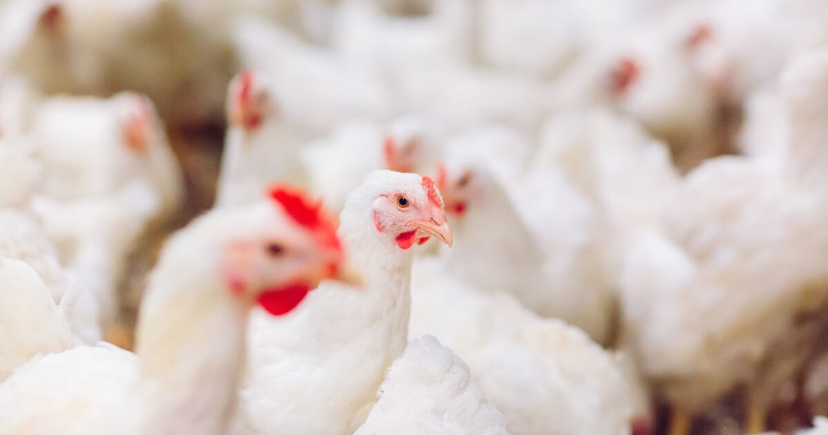 Mortality Patterns Associated with Commercial Broiler