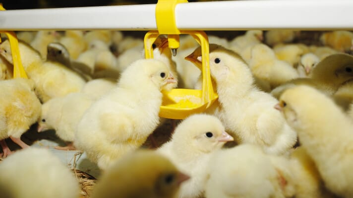 Multiple Mycotoxins in Grain Pose a Threat to Poultry Population thumbnail image