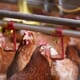 Researchers Evaluate New Lighting Technologies for Broiler Houses thumbnail image