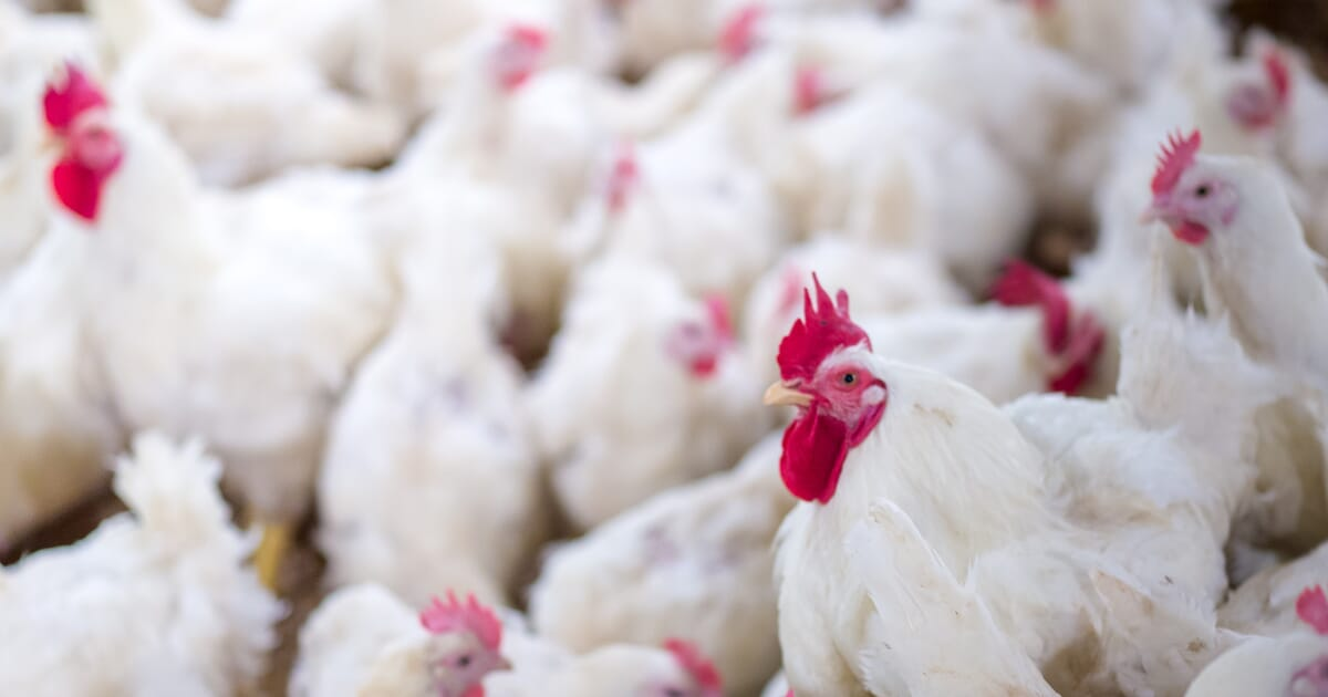 Research, analysis and best practice resources on poultry disease
