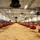 More Light at Night Reduces Daytime Heat Stress in Broilers thumbnail image