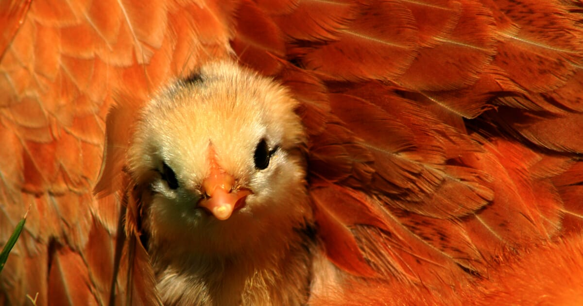 Germany Aims for Chicken Sexing in the Egg by 2016 | The Poultry Site