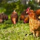 USDA Acts to Clarify Living Standards for Organic Poultry thumbnail image