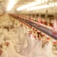 Increase in Russian Poultry Production thumbnail image