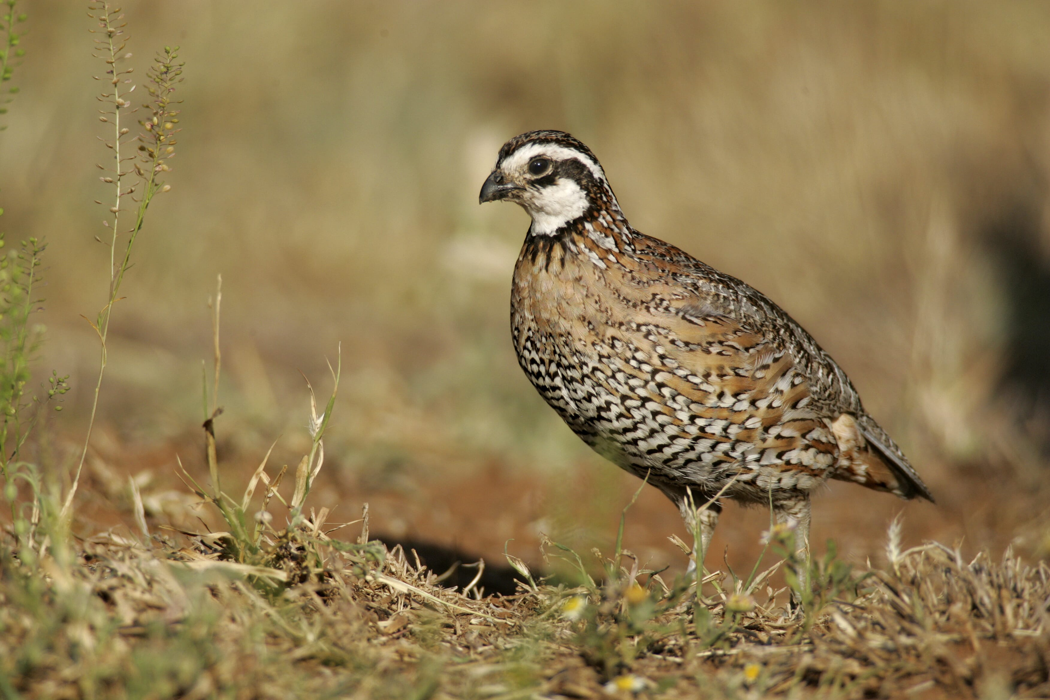 150 Northern Bobwhite Quail Hatching Eggs