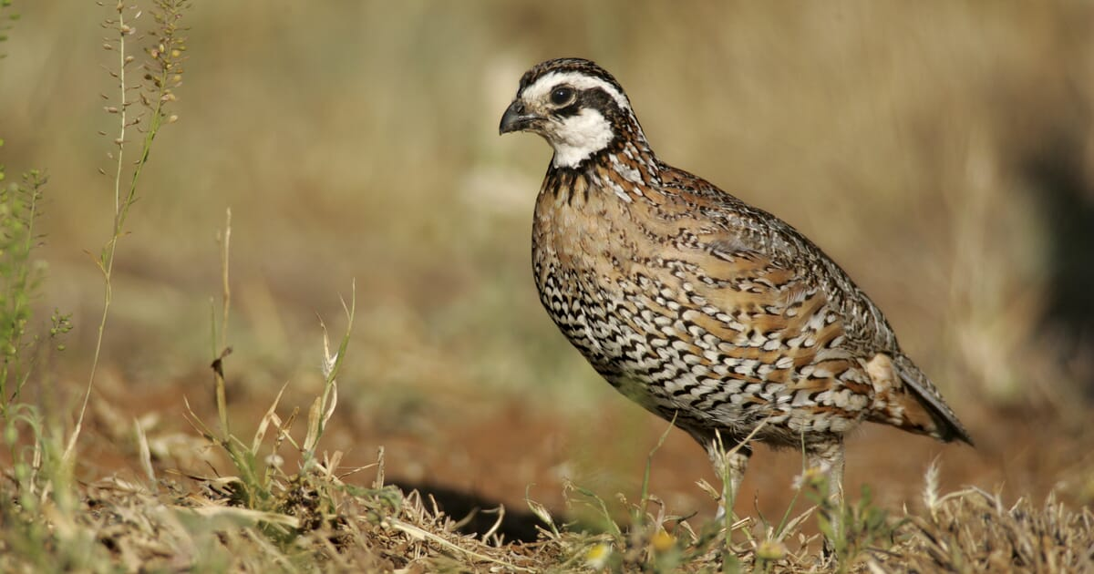 Feeding Quail | The Poultry Site